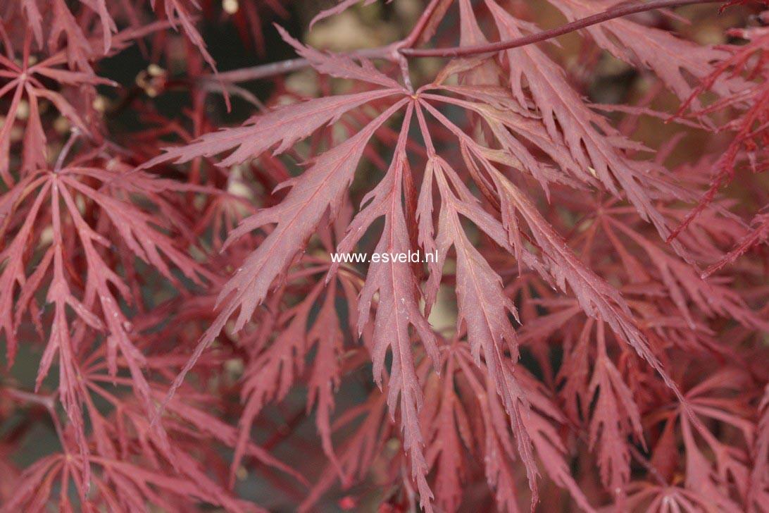 Acer palmatum 'Mischa'