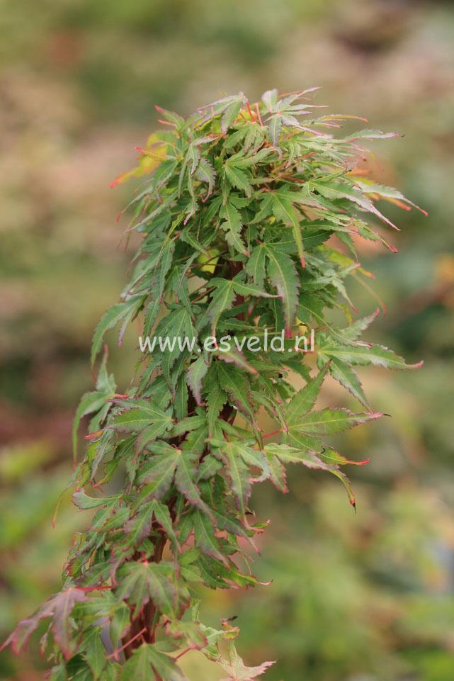 Acer palmatum 'Miss Piggy'
