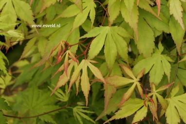 Acer palmatum 'Misty Moon'