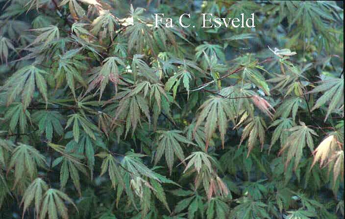 Acer palmatum 'Mon Papa'