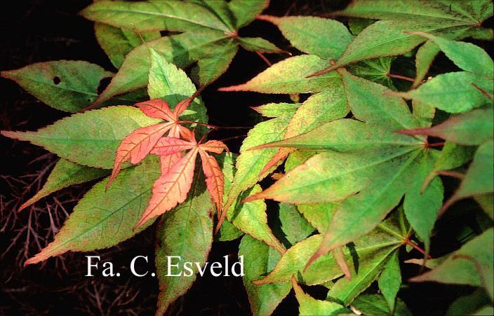 Acer palmatum 'Mon zukushi'