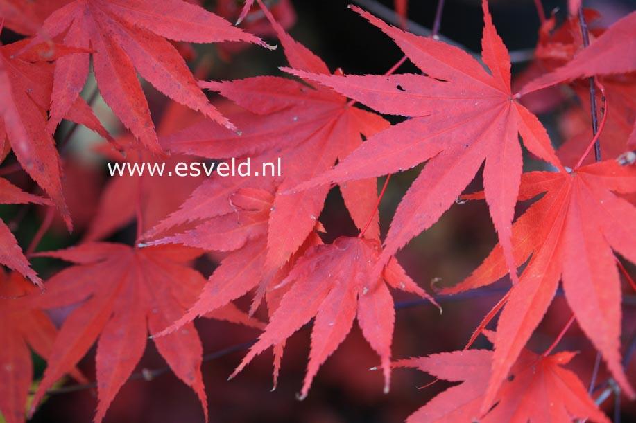 Acer palmatum 'Murasaki-iroha'
