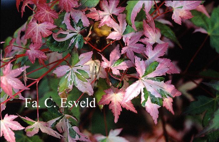 Acer palmatum 'Murasaki-shikibu'