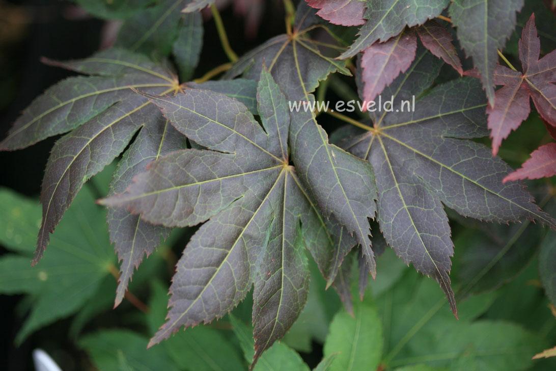 Acer palmatum 'Nomura-kohyoh'