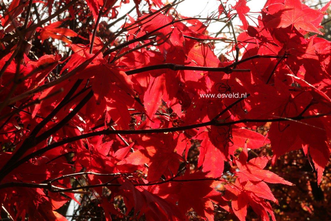 Acer palmatum 'Nomura-nishiki'