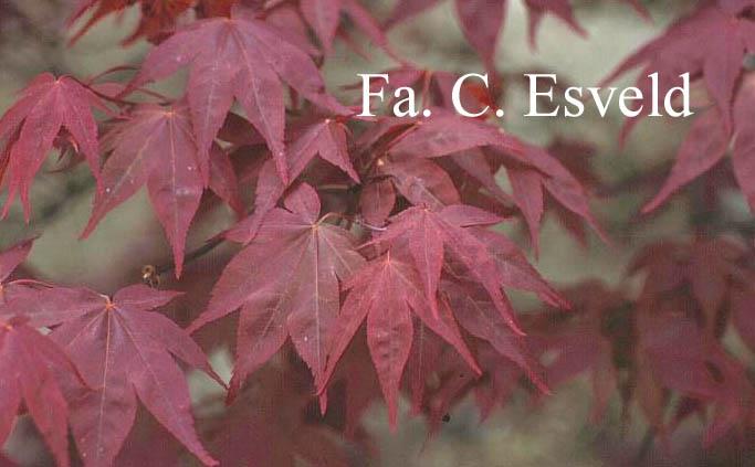 Acer palmatum 'Ō-Kagami'