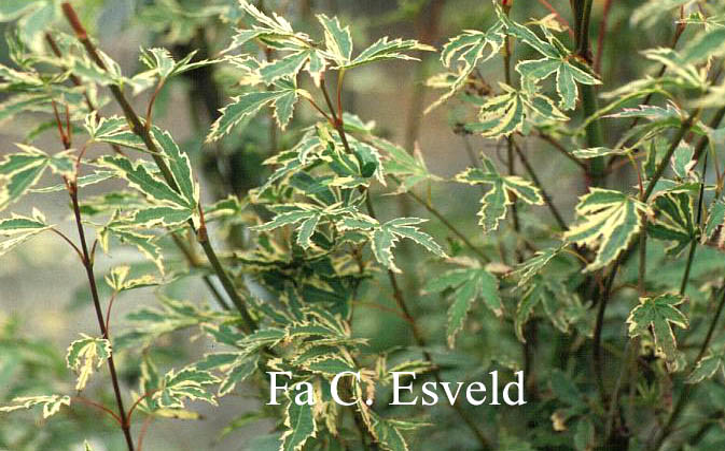 Acer palmatum 'Oku-kuji-nishiki'