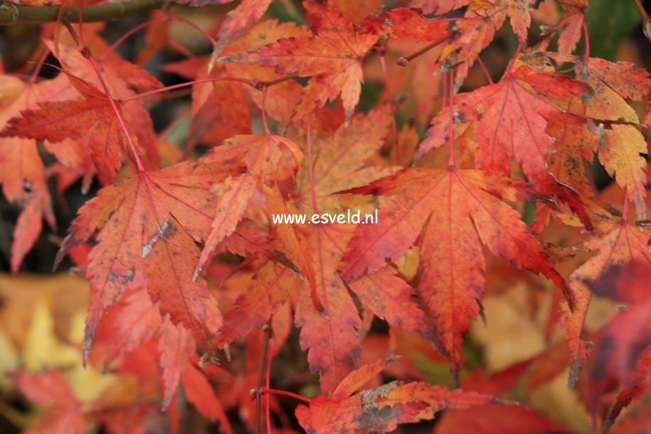 Acer palmatum 'Olga'