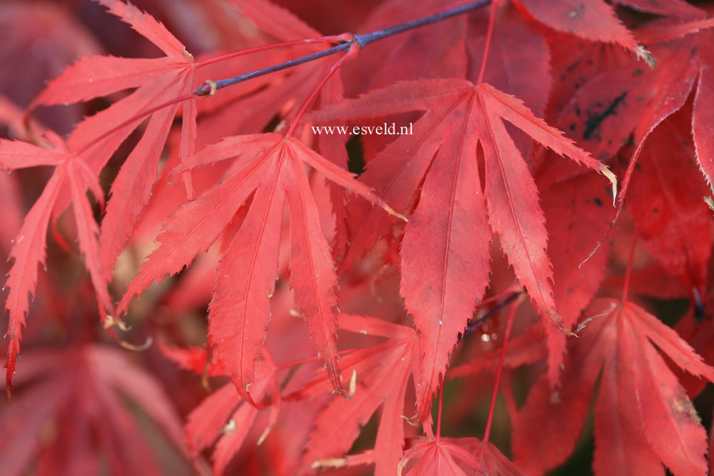 Acer palmatum 'Oregon Sunset'