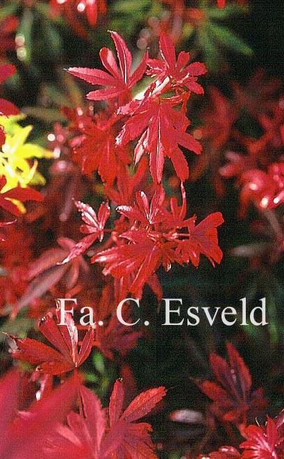 Acer palmatum 'R.P. Wolff'