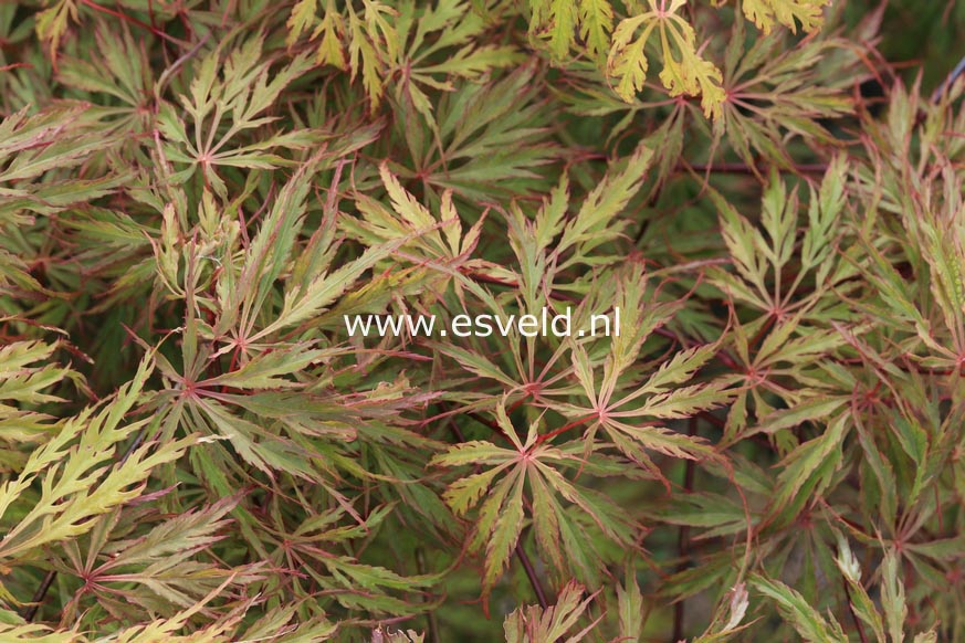 Acer palmatum 'Red Flame'