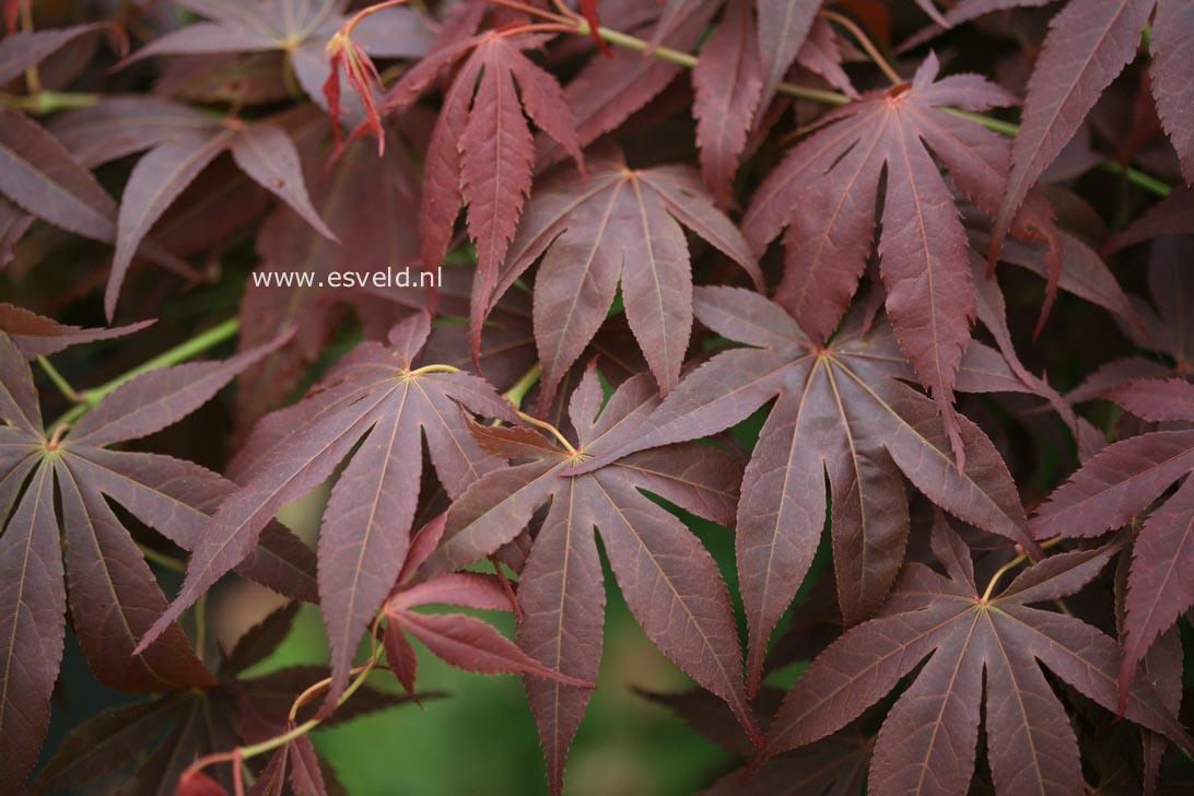 Acer palmatum 'Red Jonas'
