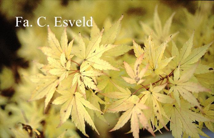 Acer palmatum 'Red Wood'