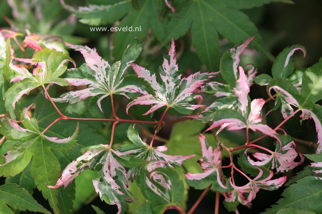 Acer palmatum 'Rokugatsu-en-nishiki'