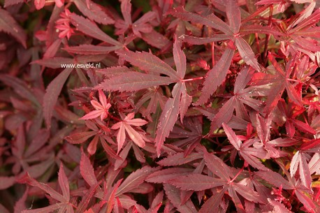 Acer palmatum 'Royle'