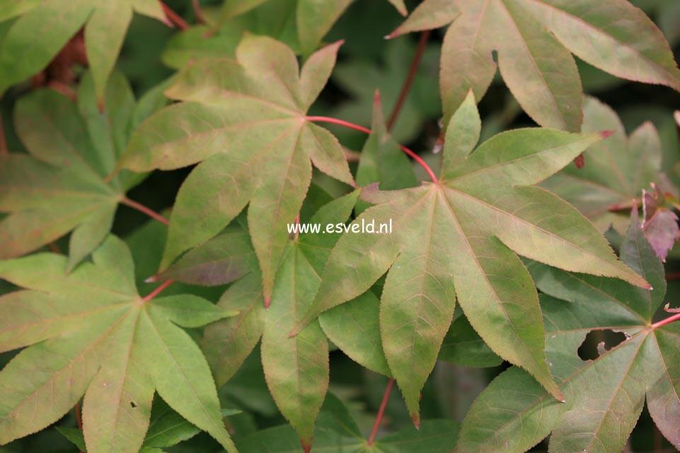 Acer palmatum 'Sainan-in-beni'
