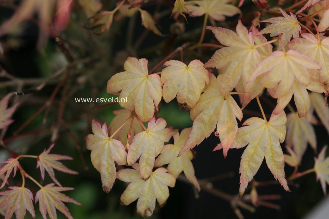 Acer palmatum 'Seigen Aureum'