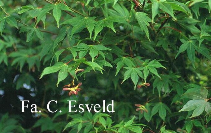 Acer palmatum 'Shuhzan-koh'
