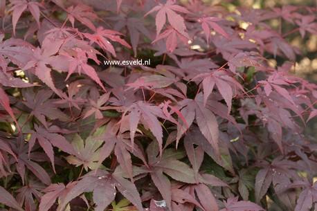 Acer palmatum 'Sport'