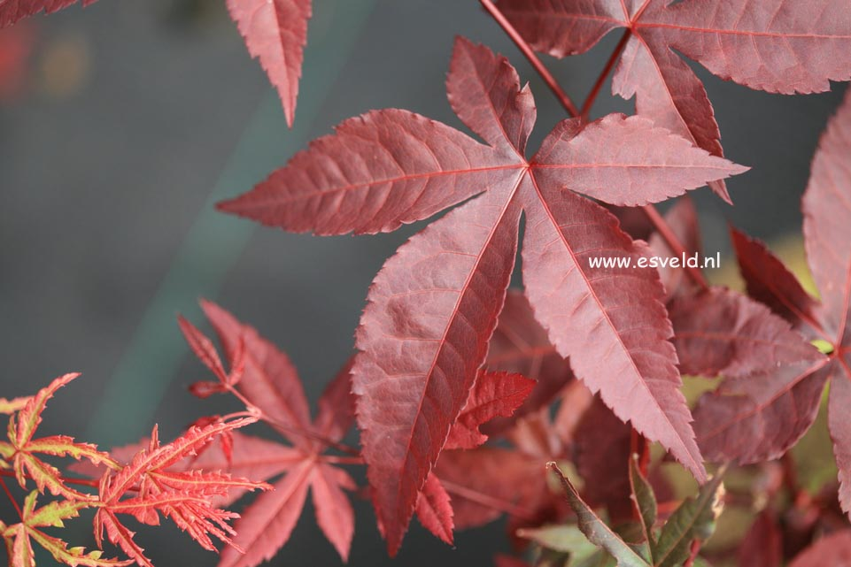 Acer palmatum 'Summer Sunset'
