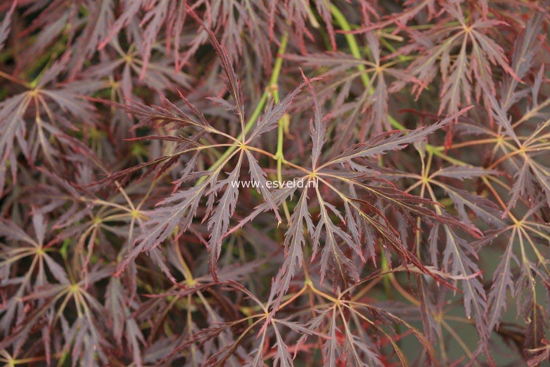 Acer palmatum 'Takara-yama'