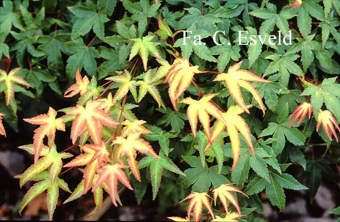 Acer palmatum 'Tama-hime'