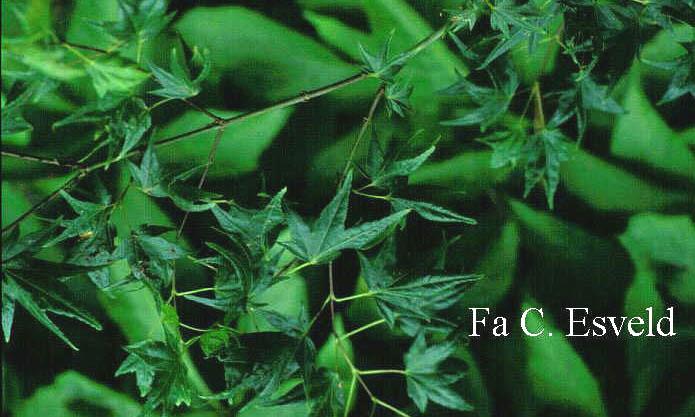 Acer palmatum 'Tendoh'