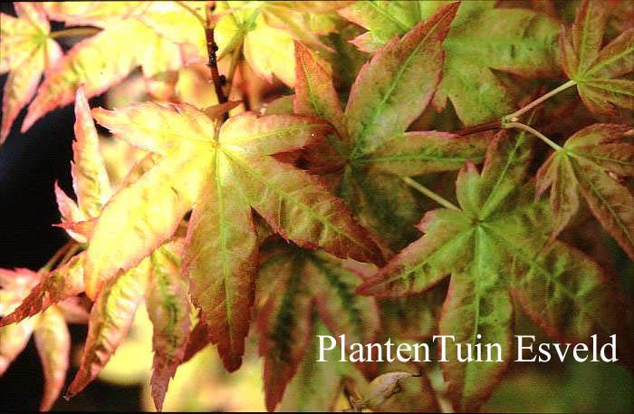 Acer palmatum 'Tohoku shichihenge'