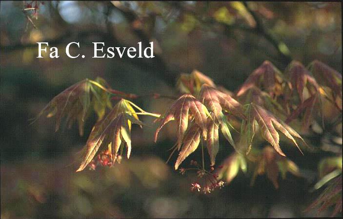 Acer palmatum 'Toshi'
