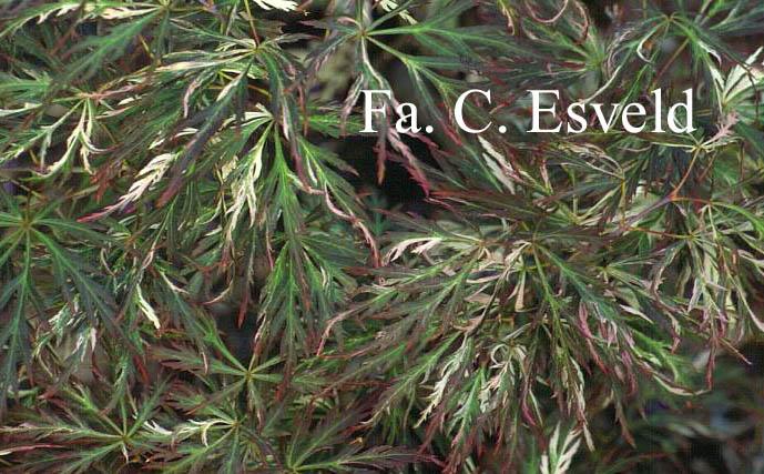 Acer palmatum 'Toyama-nishiki'