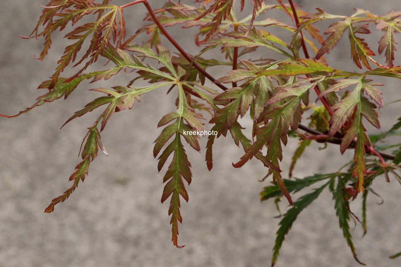 Acer palmatum 'Vic Pink'