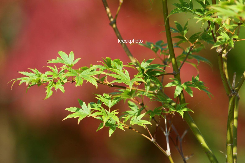 Acer palmatum 'Werner's Pagoda'