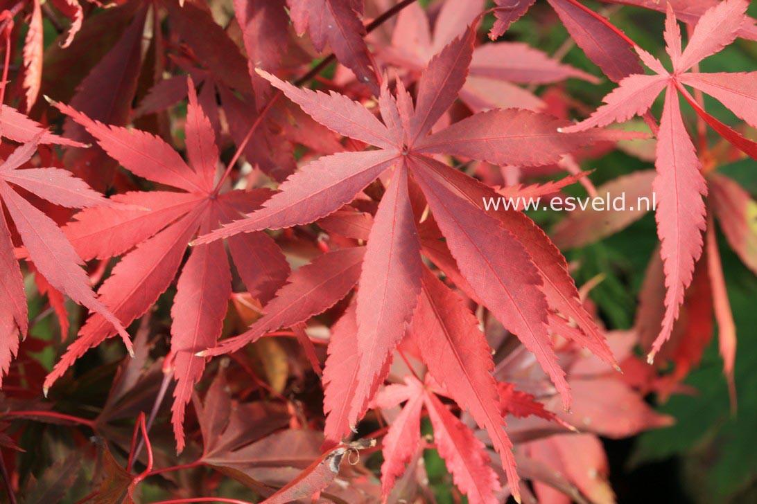 Acer palmatum 'Wild Goose'
