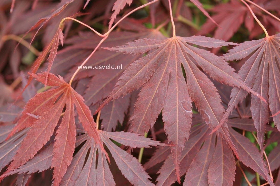 Acer palmatum 'Yama-no-suso'