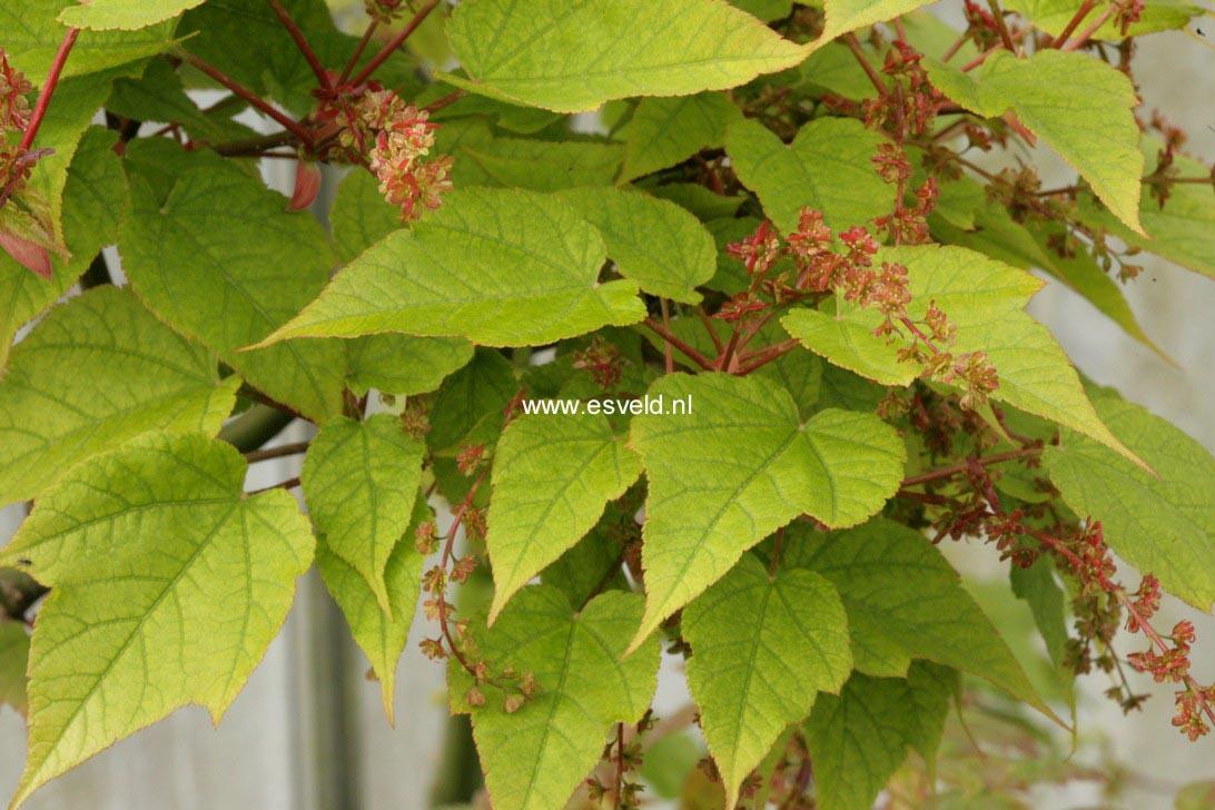 Acer pectinatum laxiflorum longilobum