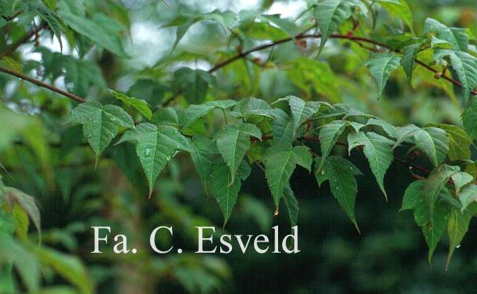 Acer pectinatum ssp. laxiflorum