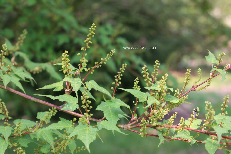 Acer pectinatum ssp. maximowiczii