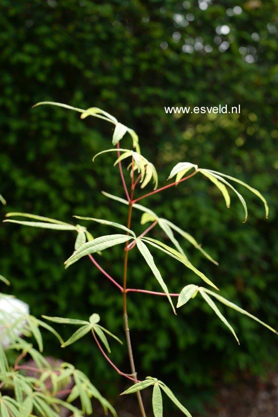 Acer pentaphyllum