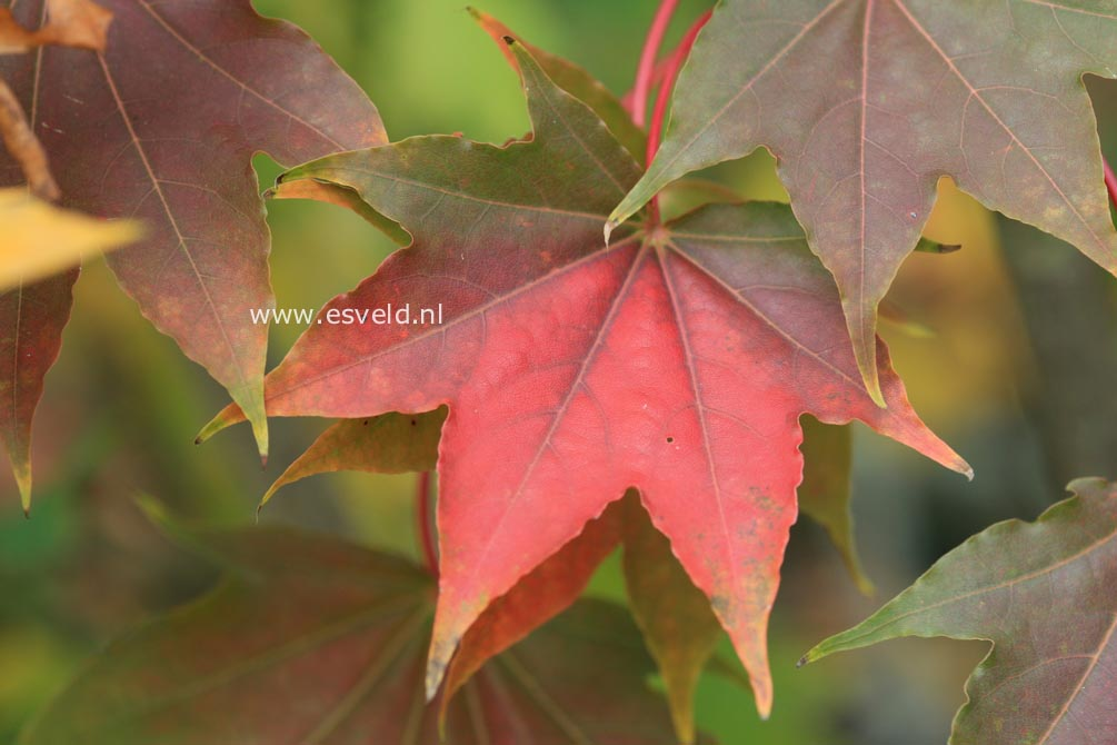Acer pictum ssp. okomotoanum