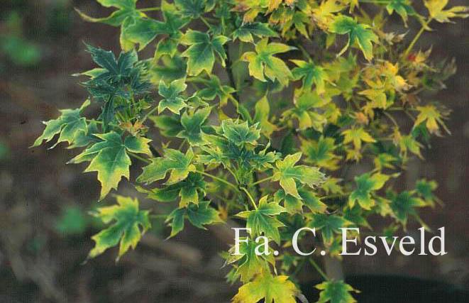 Acer platanoides 'Novus'