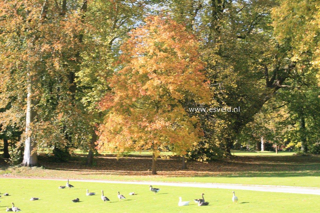 Acer platanoides 'Palmatifidum'