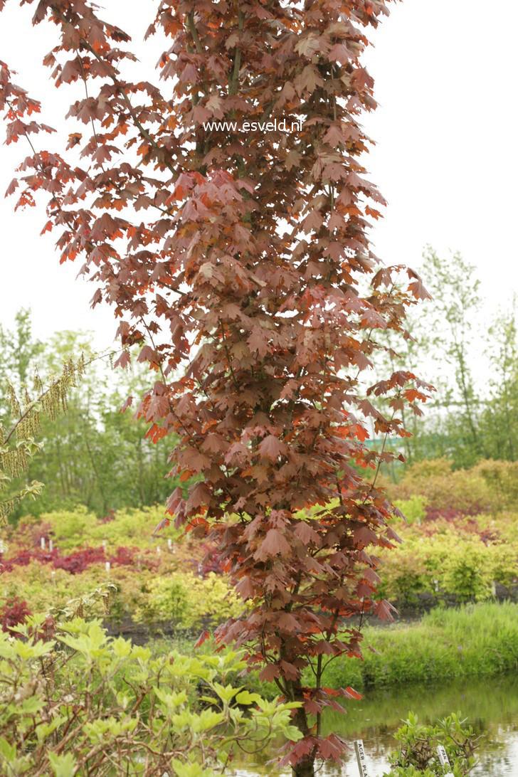 Acer platanoides 'Refusa'