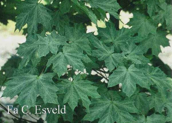 Acer platanoides 'Walderseei'