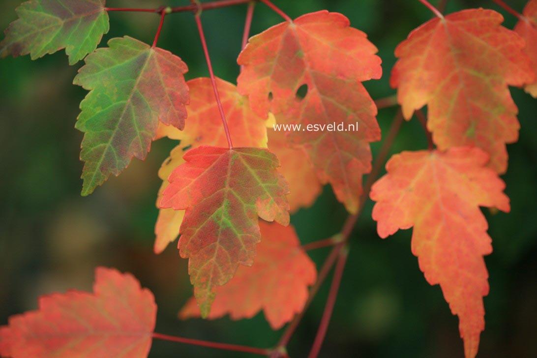 Acer pycnanthum 'Asayake-nishiki'