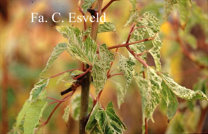 Acer rubescens 'Yakushima-nishiki'