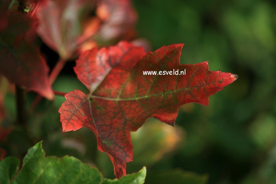 Acer rubrum 'Karpick'