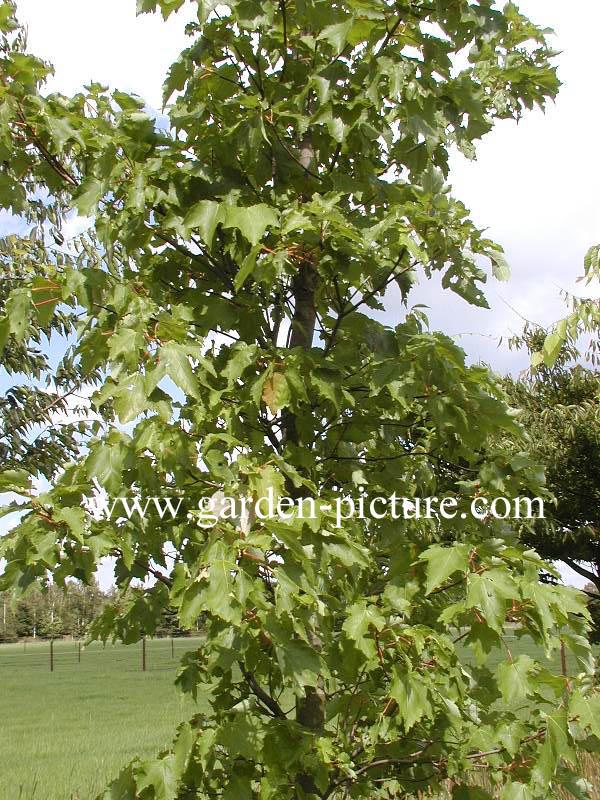 Acer rubrum 'Morgan' (INDIAN SUMMER)