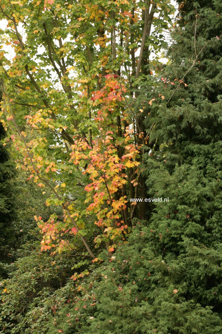 Acer saccharum 'Temple's Upright'