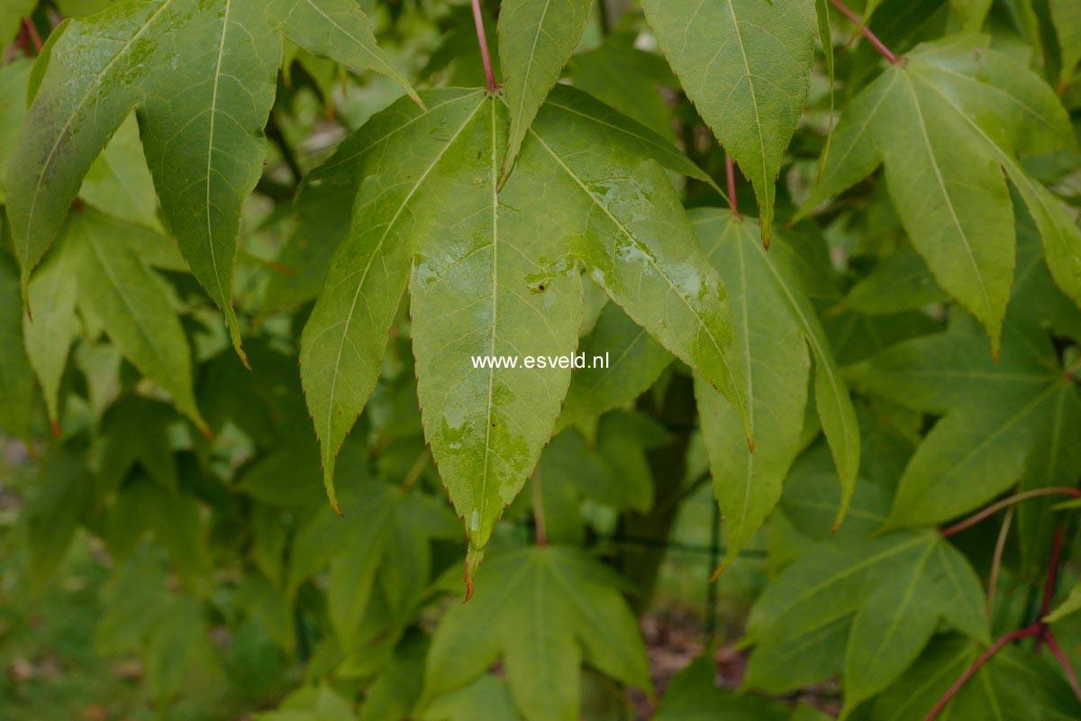 Acer schneiderianum