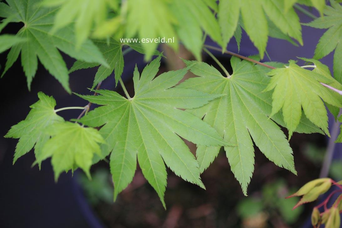 Acer shirasawanum 'Diana'
